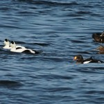 King Eider Burghead Bay 10 Oct 2014 Martin Cook 1