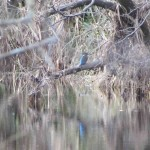 Kingfisher Cragganmore Blacksboat 6 Mar 2016 Neil Sutherland