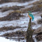 Kingfisher Findhorn Bay 16 Sep 2016 Richard Somers Cocks P