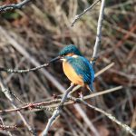 Kingfisher Forres 16 Feb 2018 Martin Cook