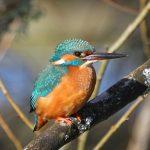 Kingfisher Forres 7 Mar 2018 Gordon Biggs