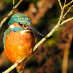 Kingfisher Forres 9 Feb 2018 Alison Ritchie