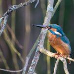 Kingfisher Forres 9 Feb 2018 David Main 1