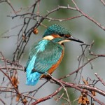 Kingfisher Loch Spynie 15 Aug 2013 Gordon Biggs 2