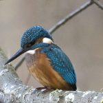 Kingfisher Loch Spynie 15 Nov 2017 Nick Mellor P