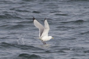 Kittiwake, Findhorn 31 Mar 2014 (Richard Somers Cocks) 1
