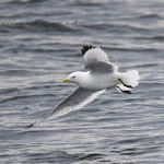 Kittiwake off Portsoy 1 May 2016 David Devonport