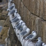 Kittiwakes Burghead 13 Sept 2013 David Law