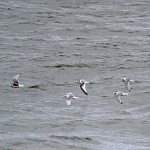 Kittiwakes, Burghead 8 Oct 2014 (Gordon Biggs)
