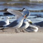 Kittiwakes Findhorn beach 19 Aug 2016 Richard Somers Cocks