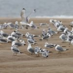 Kittiwakes Findhorn beach 21 Aug 2016 Richard Somers Cocks