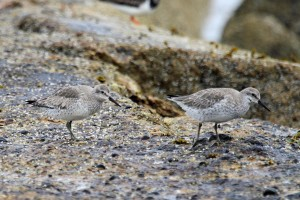 Knot, Burghead 24 Apr 2014 (Gordon Biggs)
