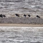 Knot Findhorn Bay 31 Jan 2017 Richard Somers Cocks 2