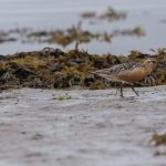 Knot Lossie estuary 26 Aug 2017 David Main