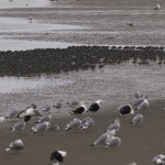Knot Nairn east beach 19 Nov 2014 Seamus McArdle