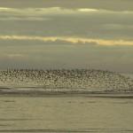 Knot Nairn east beach 20 Nov 2014 Seamus McArdle