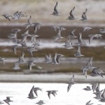 Knot and Dunlin Culbin Bar 16 Jan 2013 Richard Somers Cocks
