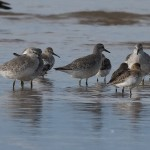 Knot with Dunlin, Findhorn beach 9 Oct 2015 (Mike Crutch)