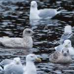 Kumlien's Gull (2nd winter), Loch Oire 11 Feb 2014 (David Devonport) 4
