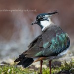 Lapwing, Dava 29 Apr 2016 (David Devonport) 2