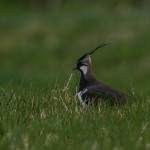 Lapwing Dava 4 May 2014 David Main