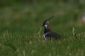 Lapwing, Dava 4 May 2014 (David Main)