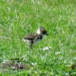 Lapwing Dunearn crossroads 12 May 2017 Alison Ritchie