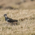 Lapwing, Glenlivet 7 Mar 2015 (David Main)