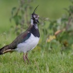 Lapwing, Kellas 24 Jun 2016 (David Main)