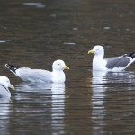 Lesser Black backed Gull Loch Oire 9 Mar 2014 Richard Somers Cocks