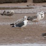 Lesser Black backed Gull Lossie estuary 13 January 2018 David Main