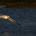 Lesser Black backed Gull Lossie estuary 5 January 2015 David Main