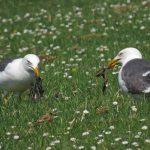 Lesser Black backed Gulls Dunearn 29 May 2018 Jack Harrison