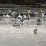 Lesser Black backed Gulls Lossie estuary 26 Nov 2014 David Main