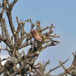 Lesser Redpoll Findhorn 19 Apr 2013 Gordon McMullins