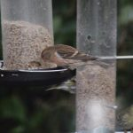 Lesser Redpoll Nairn 21 Feb 2017 Chris James