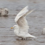 Leucistic Herring Gull Lossie estuary 10 Jul 2016 David Main 2