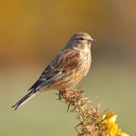 Linnet, Cummingston 2 Apr 2015 (Gordon Biggs)