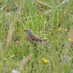 Linnet, Kingston 10 Aug 2016 (Brian Sheldon) 2 P
