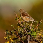 Linnet Lossie Forest 22 Mar 2014 David Main