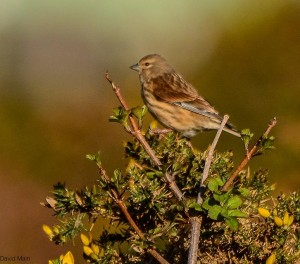 Linnet, Lossie Forest 22 Mar 2014 (David Main)