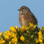 Linnet Lossie estuary 18 Mar 2017 David Main P