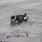 Little Auk Burghead 7 Jan 2016 Mark Ranner 2 P
