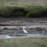 Little Egret Findhorn Bay 14 May 2016 Gordon McMullins P