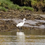 Little Egret Findhorn Bay 15 May 2016 Richard Somers Cocks P