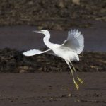 Little Egret Findhorn Bay 25 Oct 2016 Richard Somers Cocks 3 P