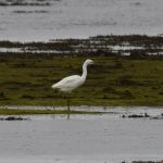 Little Egret Findhorn Bay 27 Jun 2017 Gordon McMullins