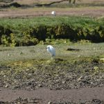 Little Egret Findhorn Bay 31 May 2017 Gordon McMullins