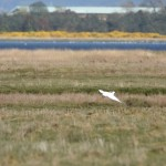 Little Egret Findhorn Bay 9 May 2016 Gordon McMullins P