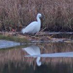 Little Egret Kingsteps 4 Feb 2017 Jack Harrison 1